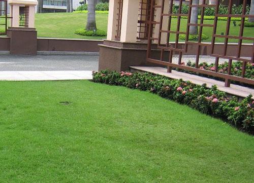 Trồng cỏ lông heo trong vườn.