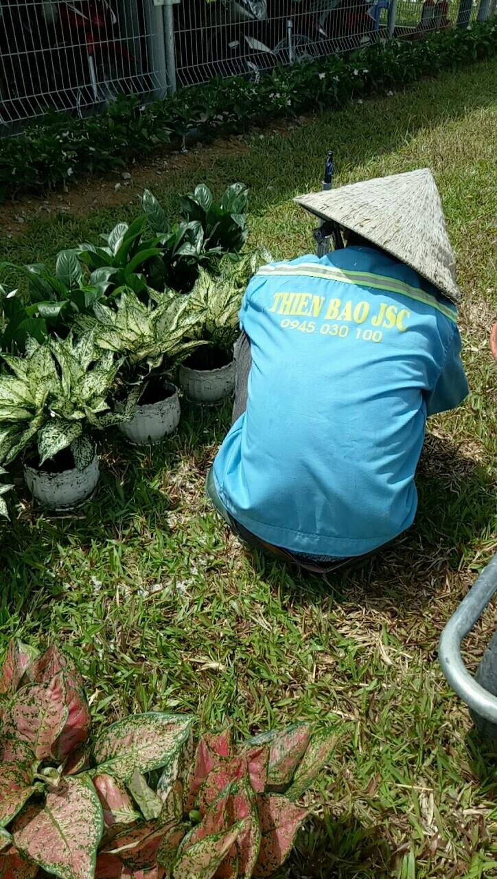 Trồng và chăm sóc cây xanh tại cty Anann Tam Thăng